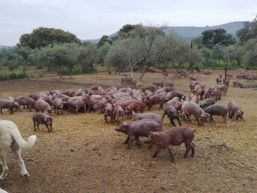 ganadería cerdo ibérico